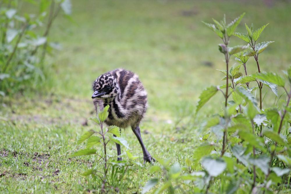 Emunachwuchs im Vogelpark